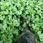 Boot stepping into invasive garlic mustard