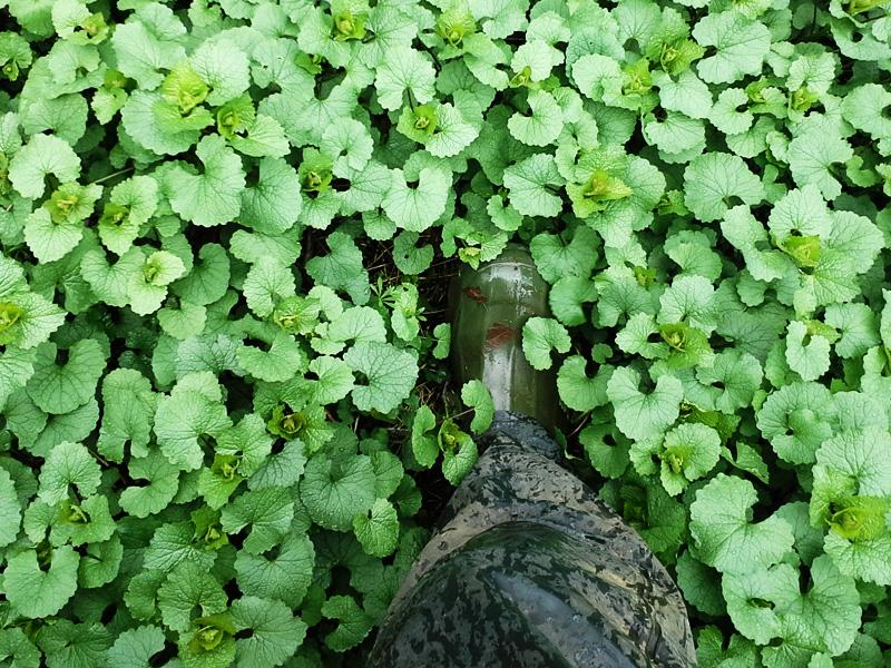 Boot stepping into invasive garlic mustard