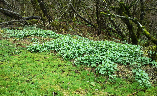 Invasive garlic mustard spreading along a forest floor