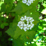 Garlic mustard flower cluster close-up