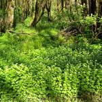 Garlic mustard growing along a forest floor