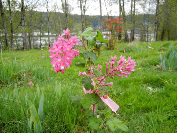 Recently-planted red flowering currant at a grant project restoration site