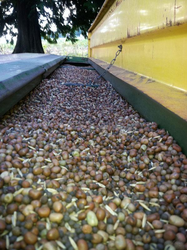 legumes in the hopper