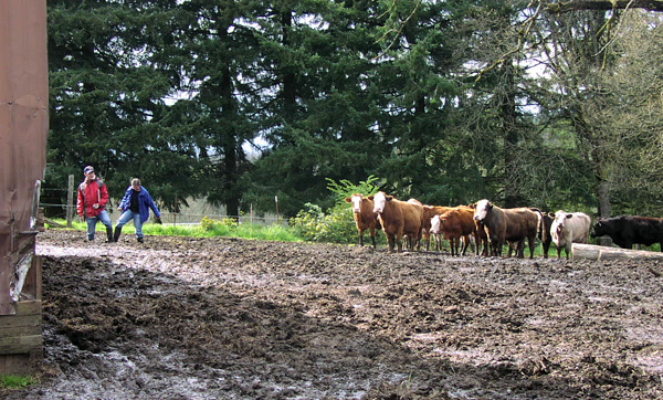 cows and people struggle through some muddy areas by a barn