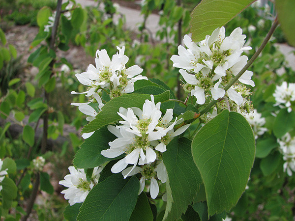 Pacific serviceberry (Amelanchier_alnifolia)