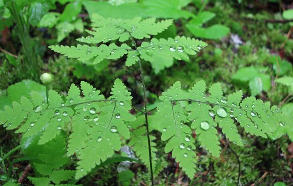 Oak Fern (Gymnocarpium dryopteris)