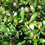 Kinnikinnick (Arctostaphylos uva-ursi) 1