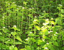 patch of invasive garlic mustard