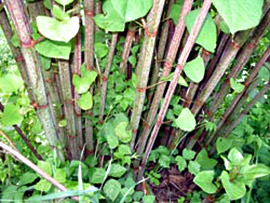 invasive knotweed