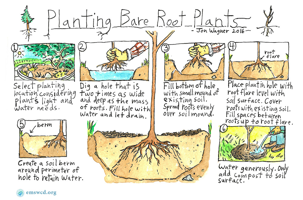 EMSWCD illustration by Jon Wagner: How to plant bare root plants