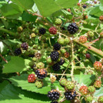 invasive blackberry bush