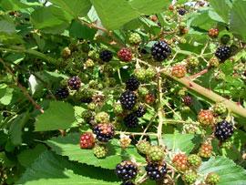 invasive blackberry bush