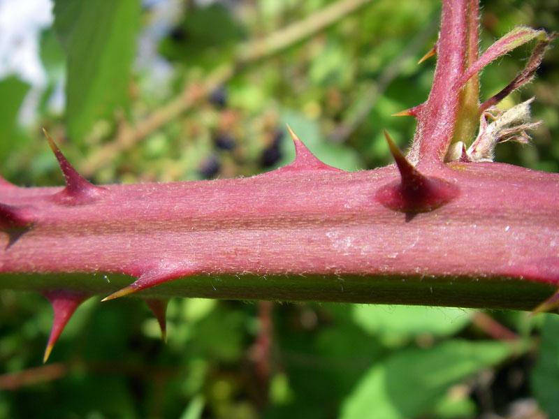 Blackberry (Rubus discolor) thorny canes