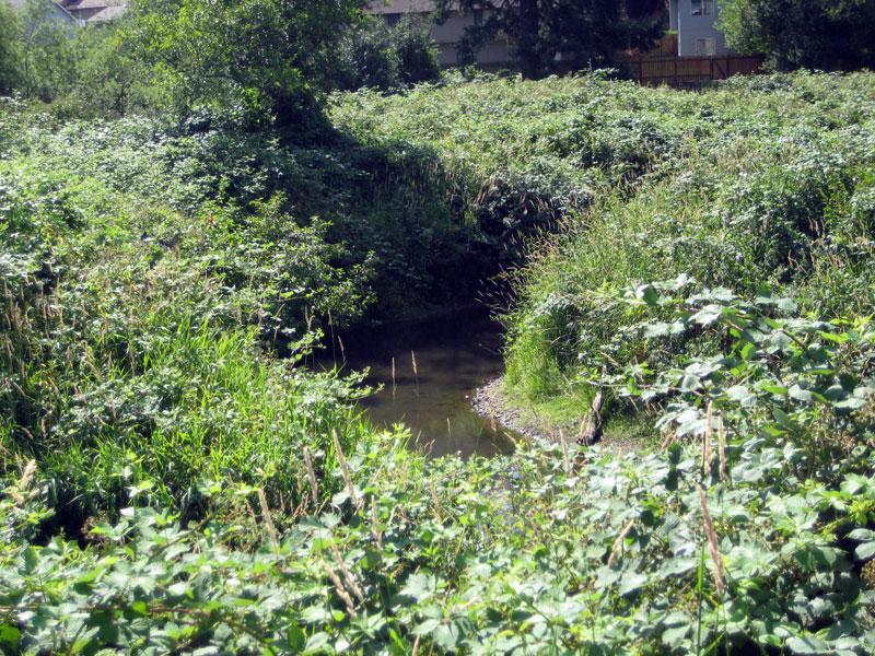 Blackberry (Rubus discolor) taking over a stream area