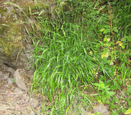 clump of invasive Fales brome