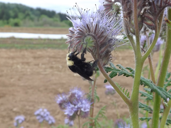 Bumble bee in a pollinator strip at Headwaters Farm