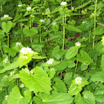 Invasive garlic mustard in the flowering stage