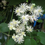 Old Man's Beard (Clematis vitalba) flowers
