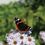 red admiral butterfly on douglas aster flowers