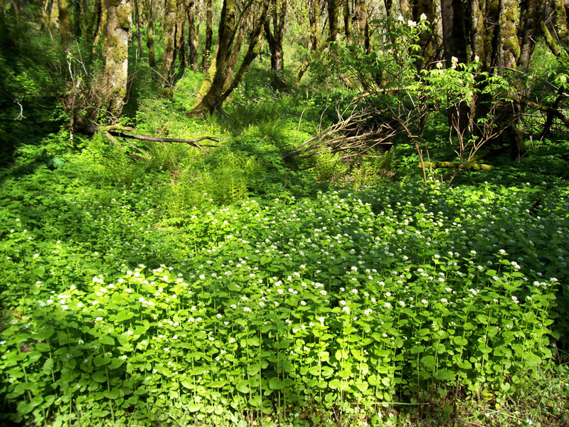 forest floor covered with invasive garlic mustard