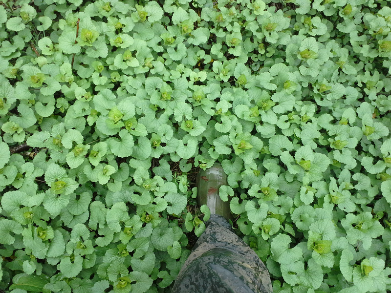 a forest floor covered in garlic mustard