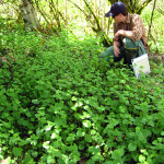 Lucas surveying garlic mustard