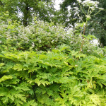 an urban infestation of giant hogweed