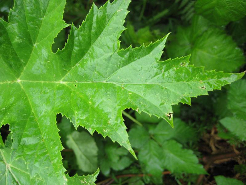 giant hogweed leaf