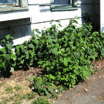 In urban areas and homes, knotweed grows aggressively and can quickly take over yards and landscaping.