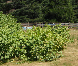 patch of knotweed invading a pasture