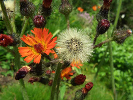 invasive orange hawkweed