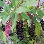 invasive pokeweed