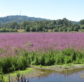 purple loosestrife has taken over this wetland