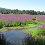 purple loosestrife in meadow