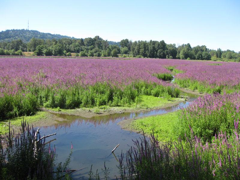 purple loosestrife in meadow