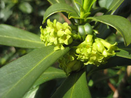 details of spurge laurel leaves and flowers