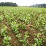 winter cover crop blend