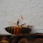 honeybee in hive