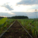 drip irrigation on beets