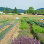 Herb rows at Headwaters Farm