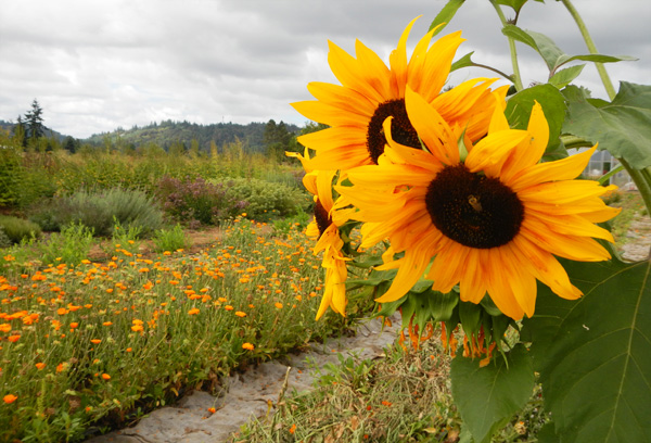 Sunflowers and rows of flower crops at Headwaters Farm