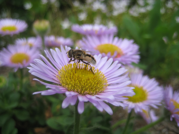 bee visits Douglas aster flowers