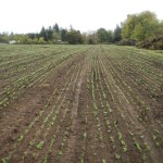 cover crops at headwaters farm