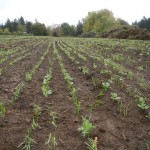 cover crops growing at headwaters farm
