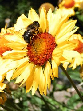 bee on a blanketflower