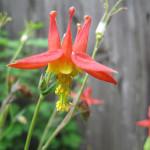 Red columbine (Aquilegia formosa)