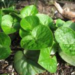 Wild ginger (Asarum caudatum)