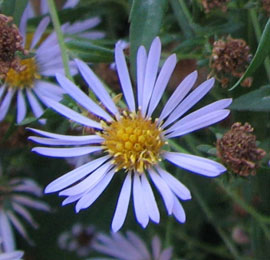 Douglas Aster (Aster subspicatus)