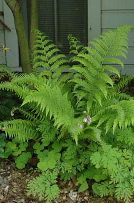 Lady fern (Athyruim filix femina)