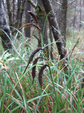 Slough sedge (Carex obnupta)